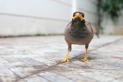 Myna or hill myna bird Stock Photo