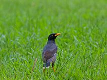 Myna looking foods in the park Royalty Free Stock Photo
