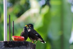 Myna mangeant la papaye/Myna mangeant des fruits Photo stock
