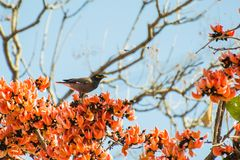 Myna Perching comum da chama de Forest Tree fotografia de stock