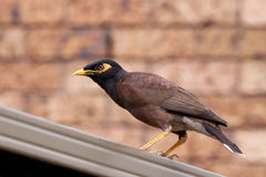Myna perching on a fence Royalty Free Stock Photography