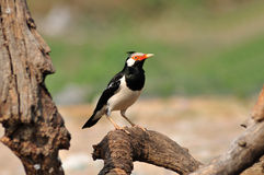 Myna pezzato asiatico (uccello) Fotografia Stock Libera da Diritti
