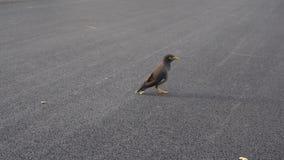 Myna ptak jest znaleziska jedzeniem