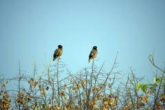 Myna ptaki siedzą na gałąź w Chandigarh Fotografia Royalty Free