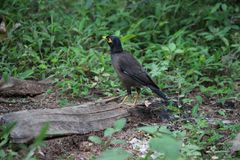 Myna sitting in the grassy earth stock photo