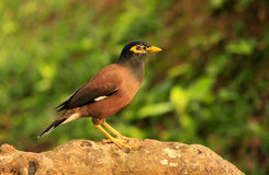 Myna sitting on a rock, Ang Thong National Marine Park, Thailand Royalty Free Stock Images