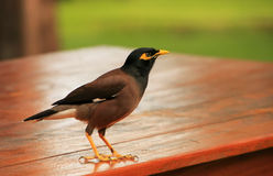 Myna sitting on a table, Ang Thong National Marine Park, Thailan Stock Photos