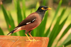 Myna sitting on a table, Ang Thong National Marine Park, Thailan Royalty Free Stock Photos