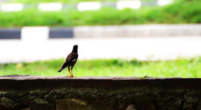 Myna Royalty Free Stock Image