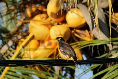 Myna standing infront of king coconut. / bird on a wire Royalty Free Stock Photos