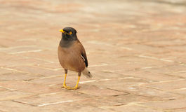Myna style Royalty Free Stock Photo