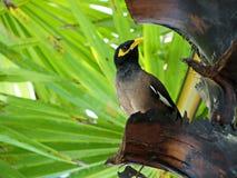 Myna sull'albero Fotografia Stock