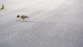 Myna-Vogel sind Entdeckungslebensmittel stock video