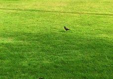 Myna-Vogel und die grüne Rasenfläche stockfotografie