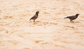 Myna-Vogelstellung Acridotheres tristis Stockbild