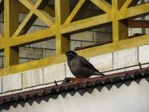 Mynah сидя на крыше стоковые фотографии rf