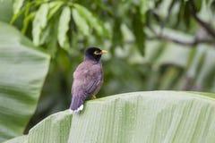 Mynah холма птицы сидит на зеленых лист ладони, religiosa Gracula, самом умном в мире Стоковая Фотография RF