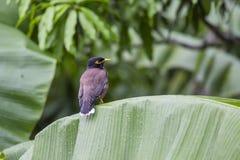 Mynah холма птицы сидит на зеленых лист ладони, religiosa Gracula, самом умном в мире Стоковое Изображение