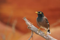Mynah australiano fotos de stock royalty free