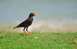Mynah by the beach. A common mynah bird frolicking by a grassy stretch of a beach Stock Images