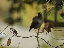 Mynah Bird. A small mynah bird on a tree branch Royalty Free Stock Photo