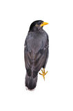 Mynah bird Stock Photos