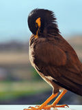 Mynah cleans plumelets. Mynah bird cleans cleans its plumelets Royalty Free Stock Images