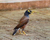 Mynah de fala Fotos de Stock Royalty Free