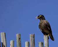 Mynah Mouth Stock Photo