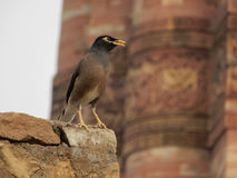 Mynah que senta-se no penhasco no parque Foto de Stock Royalty Free