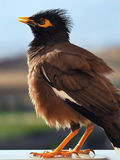 Mynah raised the crest. And inflates Stock Images