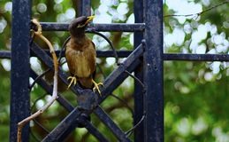 Mynah Sitting on a Garden Fence royalty free stock photo