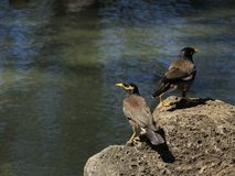 Mynah Vögel Lizenzfreie Stockbilder