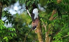 Mynahvogel die in de Lucht springen die op Aardachtergrond wordt geïsoleerd Royalty-vrije Stock Fotografie