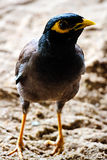 Mynas bird Stock Photography