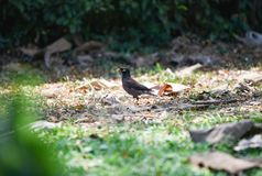 Mynas stock images