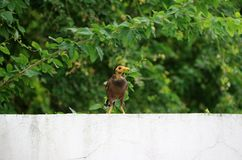 Mynas bird on the white wall and background the branch of green tree. stock photos