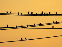 Mynas birds sitting on wires and sunset sky Stock Images