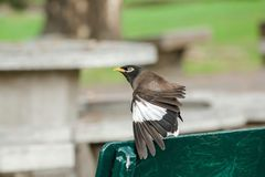Mynas is on a chair in the park. stock photo