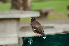 Mynas is on a chair in the park. royalty free stock photo