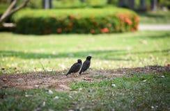 Mynas fåglar royaltyfri bild