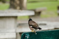 Mynas is on a green chair in the park. royalty free stock photo