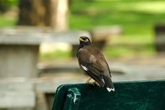 Mynas is on a green chair in the park. stock photos