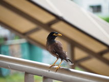 Mynas Royalty Free Stock Photo