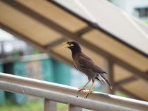 Mynas Royalty Free Stock Photos
