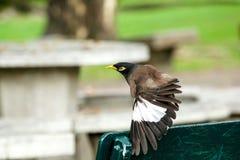 Mynas ist auf einem grünen Stuhl im Park lizenzfreie stockfotografie