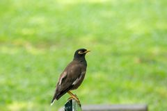 Mynas is on a green chair in the park. royalty free stock images