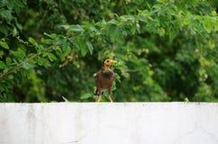 Mynas-Vogel auf der weißen Wand und dem Hintergrund die Niederlassung des grünen Baums Stockfotos
