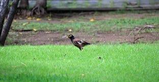 Mynas-Vogel, der nach Lebensmittel auf dem Boden des grünen Grases sucht Lizenzfreie Stockfotografie