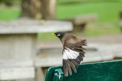 Mynas is on a green chair in the park. stock image